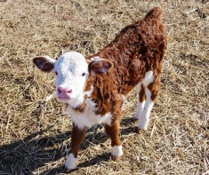 Little Hereford calf born into the warmth of Spring.